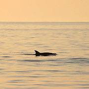 Bottlenose Dolphin breaching off a Jekyll Island beach at sunset, sunrise.
