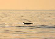 Bottlenose Dolphin breaching off a Jekyll Island beach at sunset, sunrise.