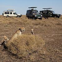 Tanzania, Ngorongoro Conservation Area, Ndutu Plains, Adult Female Cheetah (Acinonyx jubatas) sitting with young cubs and surrounded by safari trucks on savanna
