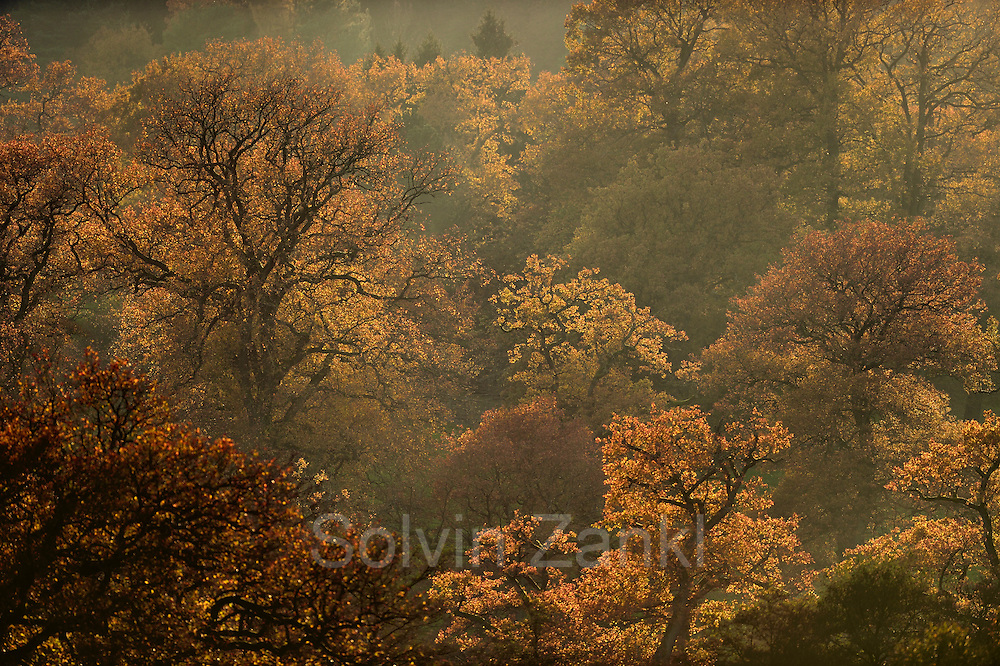 english oak (Quercus robber) in autumn colours | Alter Eichenbestand im Reinhardswald. Im Herst färben sich die Blätter rot-braun.