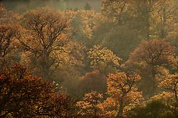 english oak (Quercus robber) in autumn colours   Alter Eichenbestand im Reinhardswald. Im Herst färben sich die Blätter rot-braun.