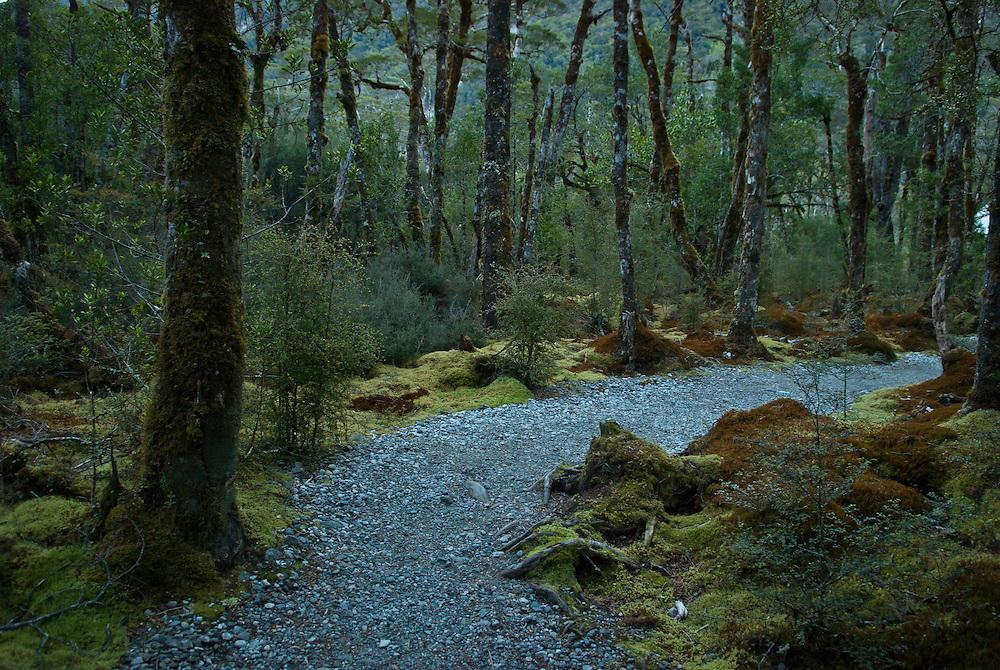 Twilight walk along a gravel path through wetlands and beech trees, Milford Track, Fiordland, New Zealand