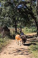 Farmer driving oxen on a country road in Pinar del Rio, Cuba.