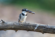 Pied Kingfisher with a small fish that it has caught, Chobe River, Kasane, Botswana.
