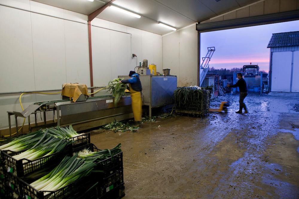 sarl cossé - maraîcher - nettoyage et conditionnement de la récolte de poireaux du jour