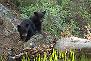 These tiny black bear cubs ponder a creek crossing as their mother calls to them from the opposite shore. With a lot of coaxing, the cubs finally jumped the stream and ran straight to their mother who nuzzled them lovingly.