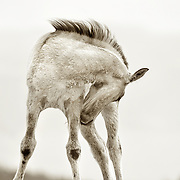Wild Mustang foal in the Pryor mountains, Montana