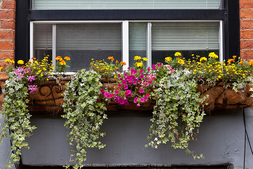 A window box with edible Lemon Gem Signet marigolds, variegated ornamental ivy,  French marigolds, and pink petunias.