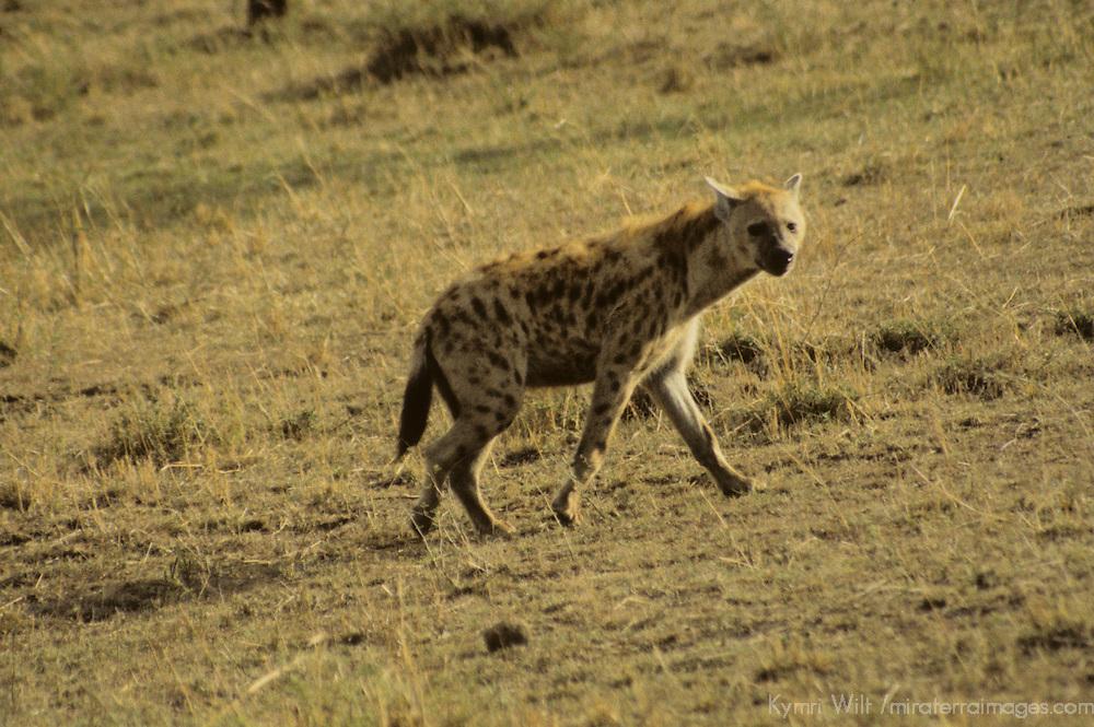 Africa, Kenya, Maasai Mara. Spotted Hyena of the Mara.