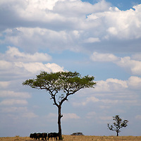 Several wildebeest find shade beneath an umbrella acacia tree during the Great Migration.