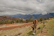 The Quechua have learned how to farm about every inch of land they have available.  They grow about 3800 different varities of potatoes. They use their donkeys as pack animals to carry goods to market.