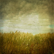 Low angle view of a field - vintage processing with textures<br /> Society6 prints: https://society6.com/product/vintage-wheat-field_print#1=45<br /> Redbubble: http://www.redbubble.com/people/dyrkwyst/works/21768822-vintage-wheat-field