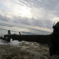 The beaches of the islands of Kiribati in the South Pacific are littered with fallen and dead tree trunks, uprooted from the land by the erosion of the beaches and coastal areas by sea water.
