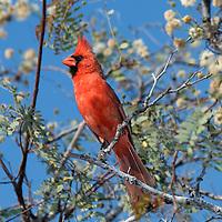 Cardinal (Cardinalis cardinalis), Bird, La Ventana Bay, Sea of Cortez, El Sargento, near La Paz, Baja California Sur, Mexico