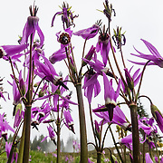 A Dodecatheon pulchellum flower (or pretty shooting star) blooms in Spray Park, Mount Rainier National Park, Washington, USA. It is a perennial herb with single, leafless flower stems, growing from very short erect root stocks with no bulblets.