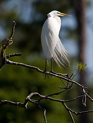 A great egret (Ardea alba) looks out on the Gatorland alligator breeding marsh and bird sanctuary near Orlando, Florida. The bird sanctuary is the largest and most easily accessible wild wading bird rookery in east central Florida. Great egrets were hunted almost to extinction for its plumage, used by the fashion industry, in the 1800's. The Aududon Society was formed during this period to push for protection for the birds from the fashion industry.