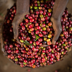 Farmers sort the cherries and coffee beans at a small farm in the village of Hafursa, Yirgacheffe, in Ethiopia. Ethiopia is the world's seventh largest producer of coffee, and Africa's top producer.