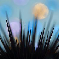 Spines of Sea Urchin, Heliocidaris crassispina, Liancourt Rocks (Dokdo), South Korea.