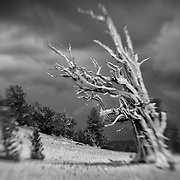 Bristlecone Pine - White Mountains, CA - Lensbaby - Infrared Black & White