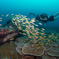 Scuba Diver Photographing a shoal of Bigeye Snapper, Lutjanus lutjanus, Miri, Sarawak, Malaysia, Borneo, South China Sea,