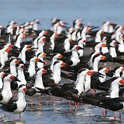 Marismas Nacionales es parada obligada de una de las rutas de aves migratorias más importantes de Norteamérica. En la imagen, una parvada de rayadores americanos (Rynchops niger).