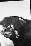 R.D.S. Bull Show..23.02.1961