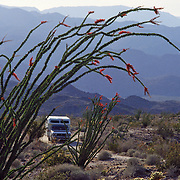 An Ocotillo (Fouquieria splendens, or coachwhip) desert plant flowers red, along a dirt road traveled by a camper beneath mountains of Anza-Borrego Desert State Park, California, USA.