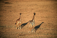 Two young Maasai giraffes bathed in late afternoon light in the Serengeti National Park in East Africa's Tanzania.