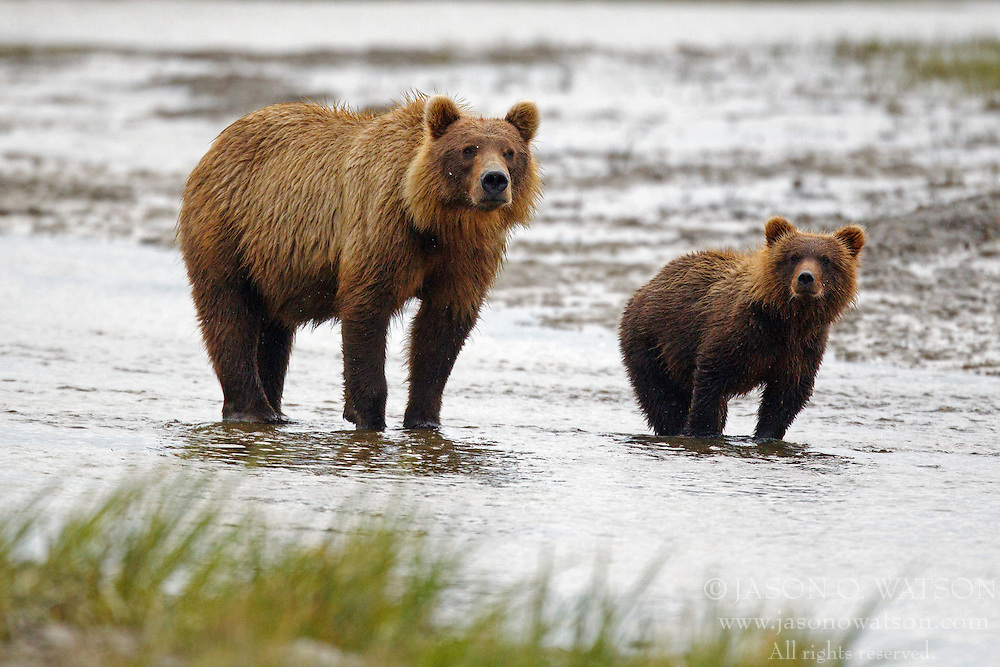 North American brown bear /  coastal grizzly bear (Ursus arctos horribilis) sow and cub standing in a creek, Lake Clark National Park, Alaska, United States of America