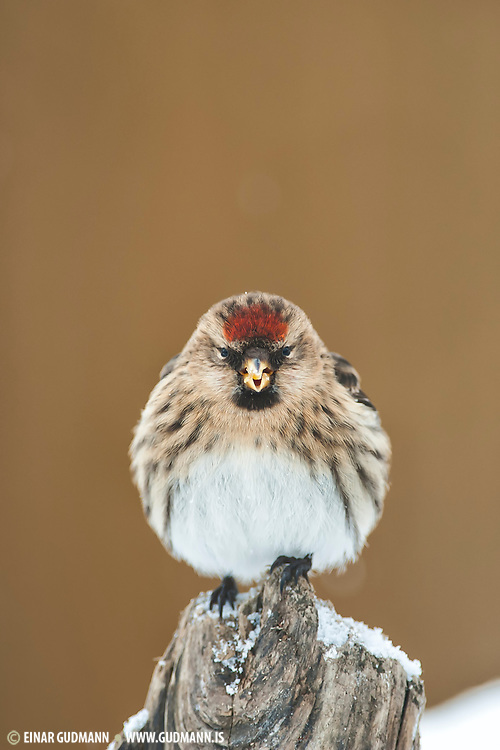 The Common Redpoll, Carduelis flammea, is a species in the finch family. These birds are staying over the winter in Iceland.