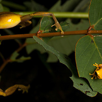 Male Olive Treefrogs, Scinax elaeochroa, fighting for a mate in the Osa Peninsula.