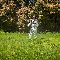 Juan cuts down a crop of weeds on an empty lot on School Street in Calistoga