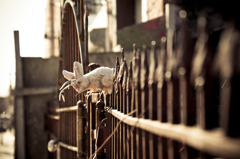 A plastic rabbit seats on the fence of a house in Red Hook, Brooklyn
