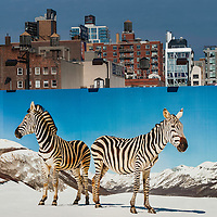 Zebra billboard as seen from the High Line Park walkway in New York City