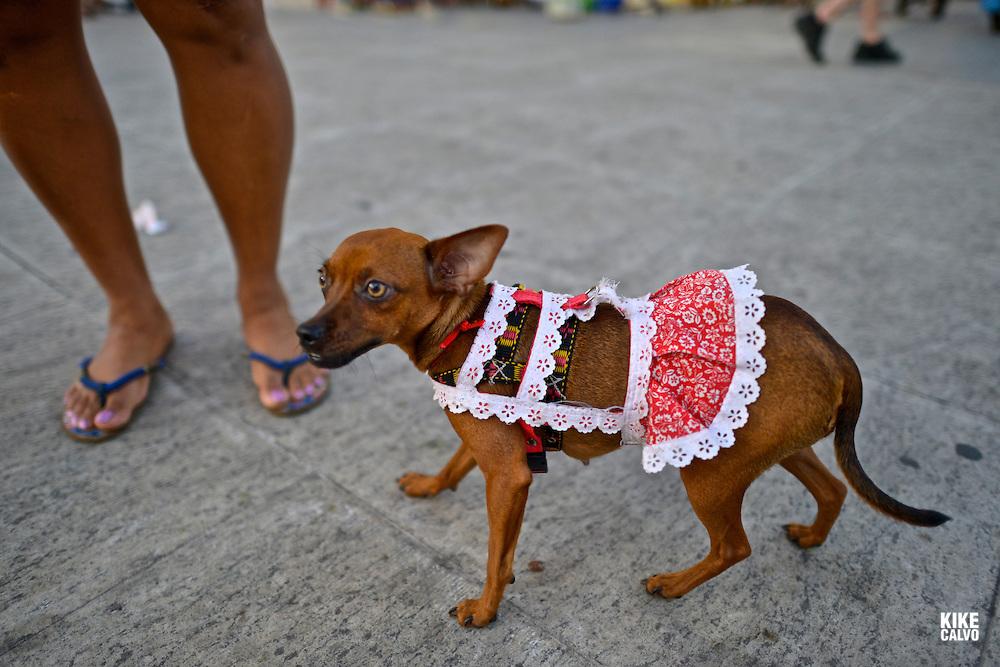 Cure female Brazilian dog dressed up with a red outfit on the streets of Pelorinho historical area, Salvador de Bahia, Bahia State, Brazil