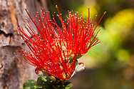 Endemic to the six largest Hawaiian islands the Ohi'a Lehua, Metrosideros polymorpha, grows as a tree or shrub and is the first higher plant to colonize new lava flows.