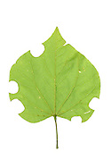 A Redbud leaf (Cercis canadensis) that has been cut by several Leaf-cutter bees (Megachilidae sp), South Carolina