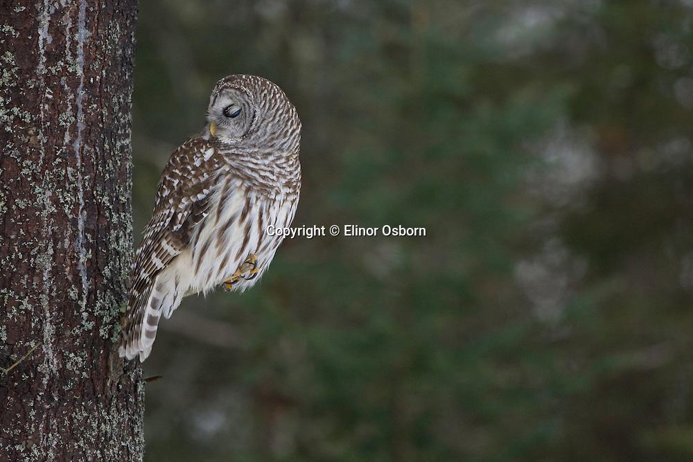 Barred Owl, sleepy