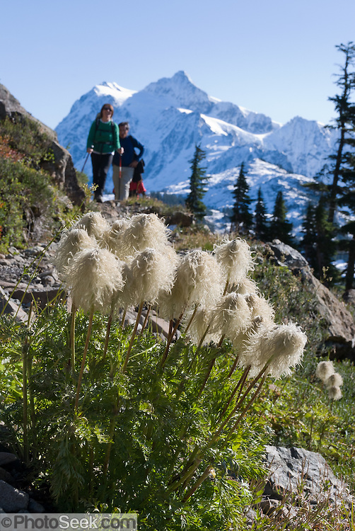 Hikers walk toward Anemone seed heads the Chain Lakes Loop trail, in Mount Baker Wilderness.  Anemone occidentalis (Western pasqueflower) is an herbaceous plant species in the genus Anemone (or Pulsatilla) and family Ranunculaceae. In the background rises the icy peak of Mount Shuksan (9127 feet elevation), located in North Cascades National Park. Anemone occidentalis is native to far western North America including British Columbia to California and Montana, found growing in gravelly soils on slopes and in moist meadows.