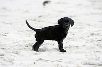 25 November 2007:  8 week old Bella Bailey, a golden labrador retriever puppy dog, plays in the sand at the beach for the first time.  She is a golden retriever black labrador retriever mix breed k-9 dog.