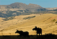 NEWS&GUIDE PHOTO / PRICE CHAMBERS.A cow moose and her calf patrol the western border of the National Elk Refuge on Saturday as Sheep Mountain looms behind.