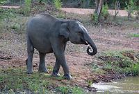 Sri Lankan elephant (Elephas maximus maximus) a subspecies of Asian Elephant, Yala National Park, Sri Lanka