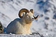 Dall's Sheep, Ovis dalli dalli, ram, resting, horns, early winter, snow, alpine tundra;  adult wt: to 250 lbs.; winter food: grasses & sedges on windblown ridges, inhabits mountains in Alaska and Canada; Denali National Park, Alaska, ©Craig Brandt, all rights reserved; brandt@mtaonline.net