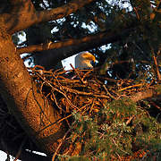 A bald eagle (Haliaeetus leucocephalus) sits on its nest high in a tree in Heritage Park, Kirkland, Washington. The bald eagle builds the largest nest of any North American bird. The typical bald eagle nest weighs up to 1 ton, though one in Florida was documented to weigh 3 tons.