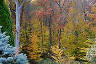 Picea pungens glauca 'Fat Albert', Pieris japonica