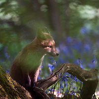 Fox cub in Bluebell, Oakwood, Oxfordshire, UK