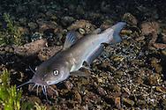 Headwater Catfish<br /> <br /> Jennifer Idol/Engbretson Underwater Photography