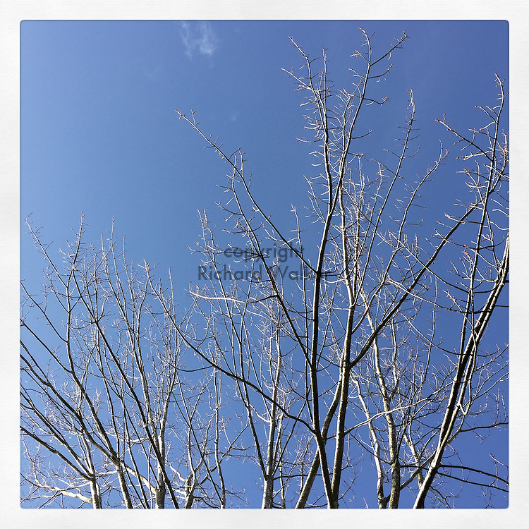 2016 OCTOBER 28 - Leafless trees in autumn against a blue sky in Seattle, WA, USA. Taken/edited with Instagram App for iPhone. By Richard Walker