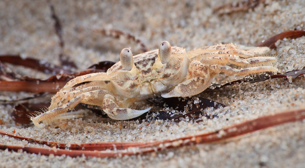Ghost Crabs Virginia Beach
