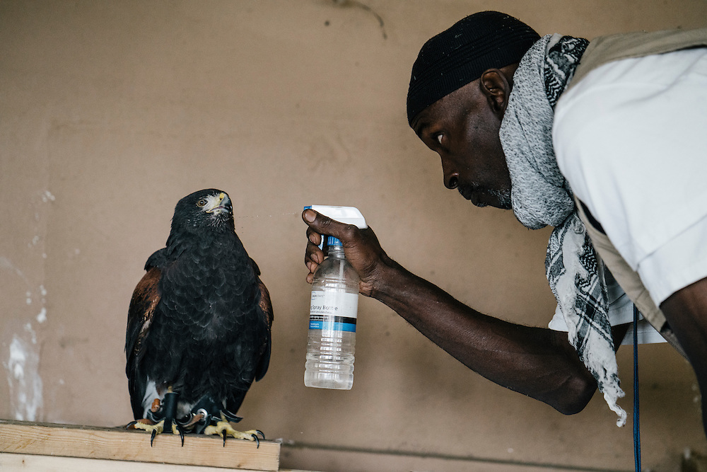 Rodney Stotts gives  Gerdie, one of four Harris Hawks at the Wings Over America raptor sanctuary, some water from a spray bottle on March 17, 2016.